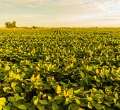 stock photo of soy bean  - A beautiful soy bean field at dawn - JPG