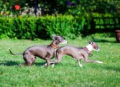 image of greyhounds  - Italian Greyhound playing in countryside park Poland - JPG