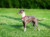 pic of greyhounds  - Italian Greyhound playing in countryside park Poland