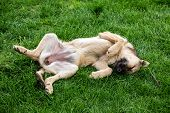 stock photo of mongrel dog  - Mongrel dog resting on grass lying on back with eyes closed - JPG