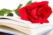 stock photo of poetry  - Open book and red rose on pages of book on white background romantic look poetry concept - JPG