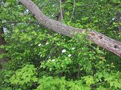 image of pecker  - Crab Apple or Dogwood Tree Blossoms in Spring and wood pecker damage