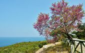 Постер, плакат: Judas tree against the sea in the Dilek national park Turkey