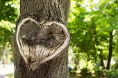 Постер, плакат: Heart In The Bark Of A Tree tree With Heart Shape Heart Wooden Cut Texture