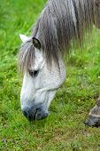 stock photo of horses eating  - Portrait of a white horse eating the grass on the pasture - JPG