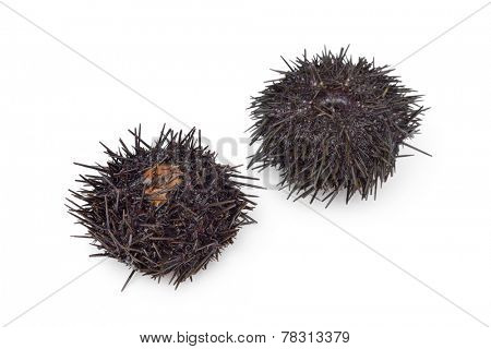 Two fresh raw sea urchins on white background