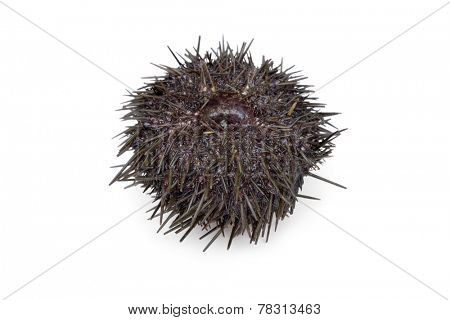 Fresh raw sea urchin on white background
