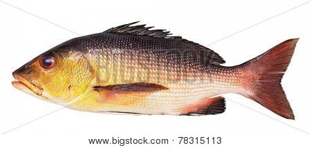 Lutianus bream isolated on white background