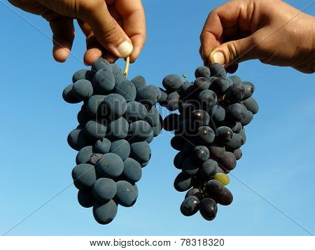 hands holding grapes clusters of different varieties