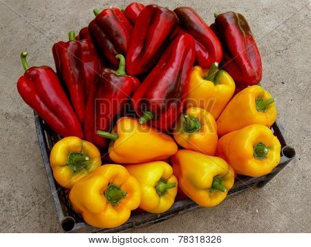 fresh harvested red and yellow peppers in plastic container