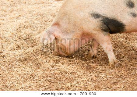 Foraging Pig
