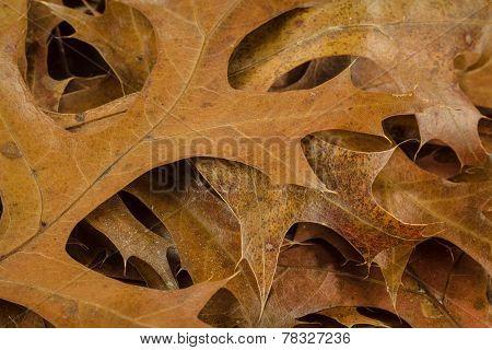 Pin Oak Leaves In Fall