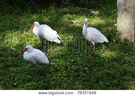 Walking Ibis Trio
