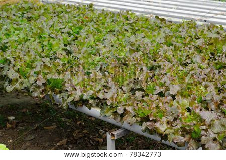 Red Oak, Cultivation Hydroponics Green Vegetable