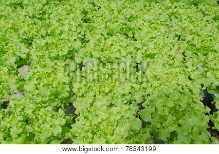 Green Oak, Cultivation Hydroponics Green Vegetable