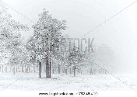 Pine-tree, winter