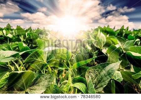 Powerful Sunrise Behind Closeup Of Soybean Plant Leaves