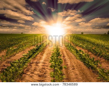 Powerful Sunset On Farm Field With Rows Of Soybean Crop