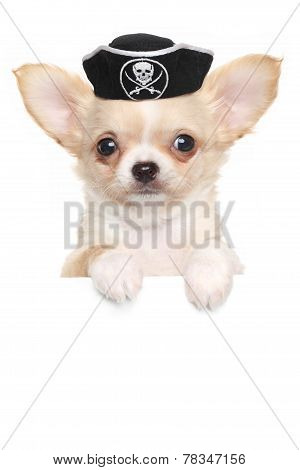 Chihuahua Puppy In Carnival Pirate Hat