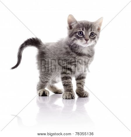 Small Gray Striped Kitten.