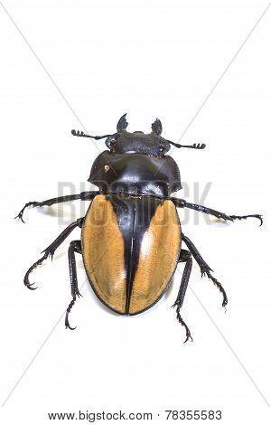 insect, beetle, bug, in genus Odontolabis