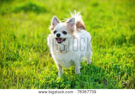 joyful Chihuahua dog on green lawn background