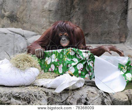 An adult orangutan unwrapping a Christmas gift.