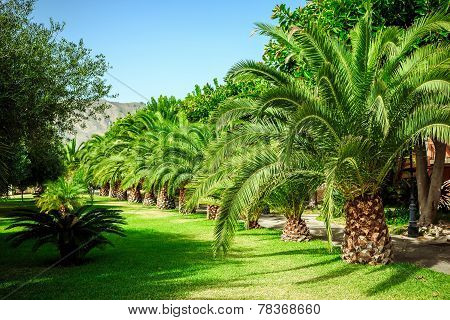 Walking Alley With Palms In Sicily