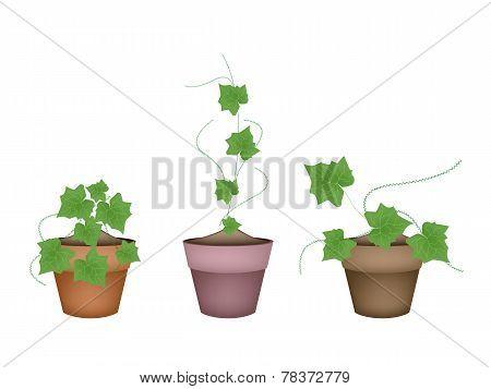 Three Fresh  Ivy Gourd in Ceramic Flower Pots