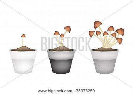 Three Straw Mushrooms in Ceramic Flower Pots