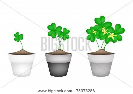 Fresh Water Clover Plant in Ceramic Flower Pots