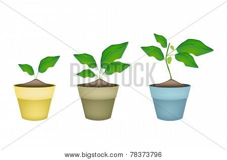 Noni or Morinda Citrifolia Tree in Ceramic Pots