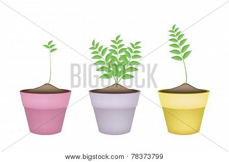 Ornamental Green Trees in Ceramic Flower Pots