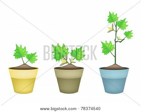 Three Green Eggplant Tree in Clay Pots