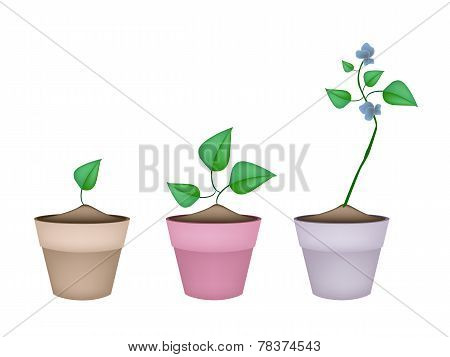 Winged Bean Plants in Ceramic Flower Pots
