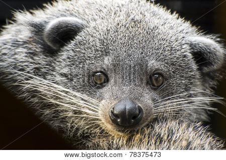 Face Of Binturong (arctictis Binturong)