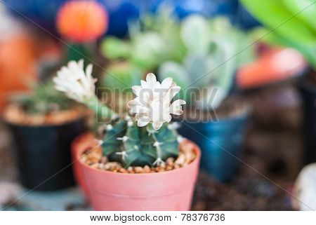 Close Up Of Cactus Flowers