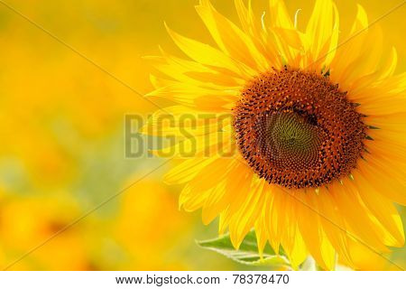 Close Up Sunflower In Meadow