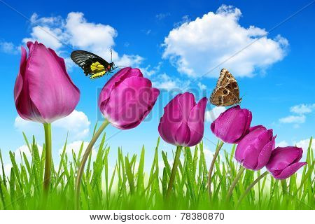 Purple tulips and butterflies on blue sky