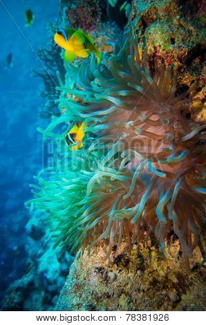 Clownfish shelters in its host anemone on a tropical coral reef