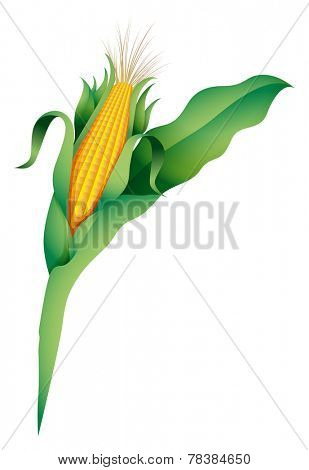 A corn on a white background