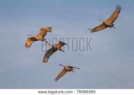 Wintering Sandhill Cranes