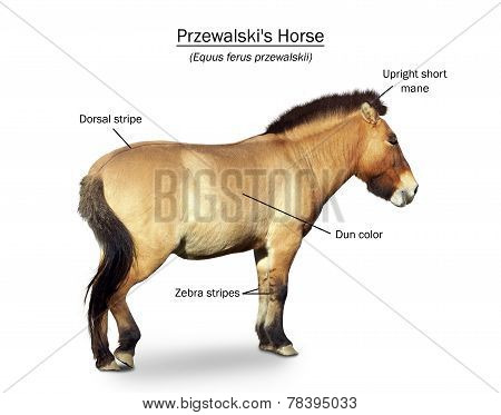 Przewalski's Wild Horse Presentation