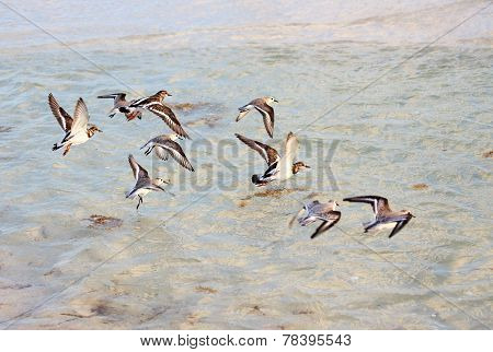flock of Tringa flying over the sea.