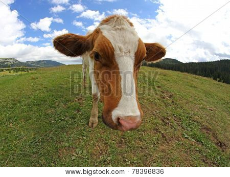 Great Cow Grazing Shot With Fisheye Lens
