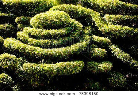 Dwarf shrubs, decorative patterns. outdoor in sunlight