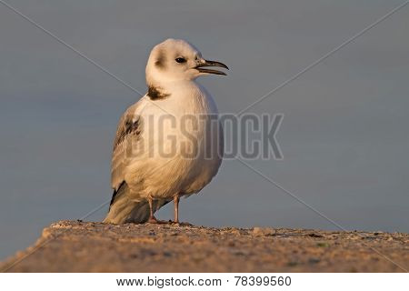 Young Black-legged Kittiwake