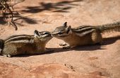 image of chipmunks  - Two chipmunks in the free nature of Zion