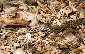 image of harmless snakes  - A large sonoran gopher snake gliding on the valley floor amongst fallen leaves - JPG
