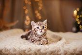 image of portrait british shorthair cat  - portrait cat on a studio color background - JPG